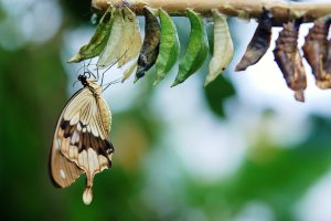 A brown and beige butterfly has just emerged from one of a row of cocoons on a tree branch.
