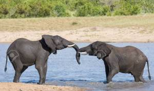 Two wet elephant play in water and greet each other in the hot sun