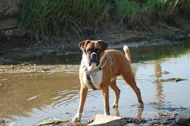 A brown dog standing in shallow water.