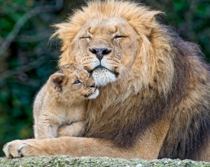 A lion cub nestles up to its father.