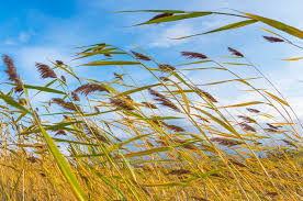 a reed shaken by the wind