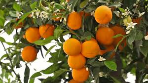 Ripe oranges on a tree branch