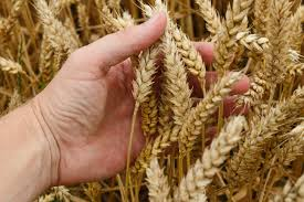 A hand holds a few ears of growing wheat.