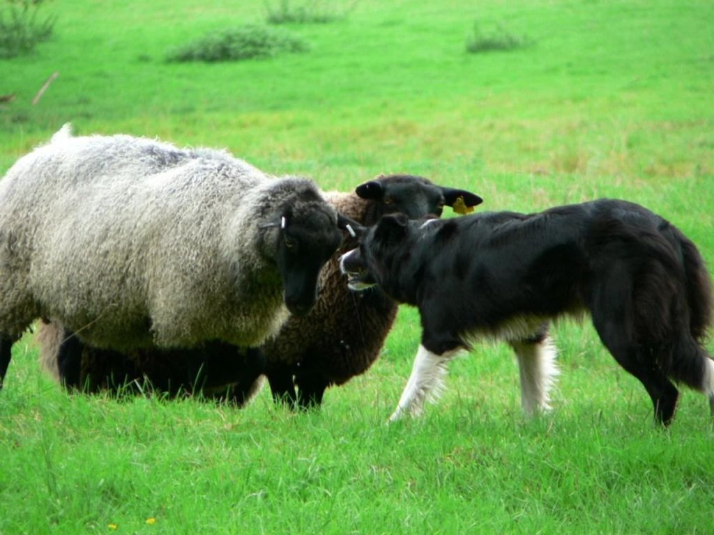 A black and white border collie sheepdog stands up to two sheep in a field, The sheep, heads lowered, stubbornly face back.