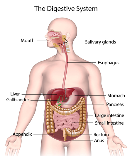 A diagram showing the human digestive system