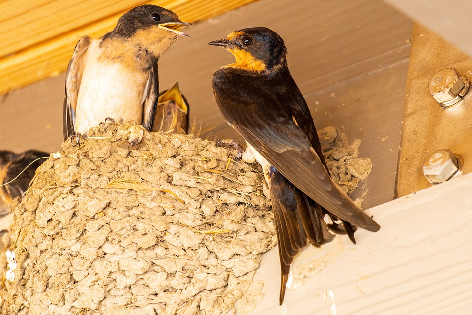A pair of swallows perch on the edge of a nest built on the inside of a barn whlle the chicks' beaks protrude from the inside.